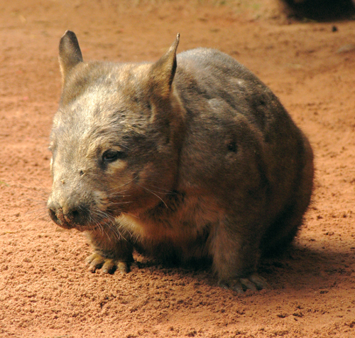2_Southern_hairy-nosed_wombat__photo_courtesy_BioCity.jpg